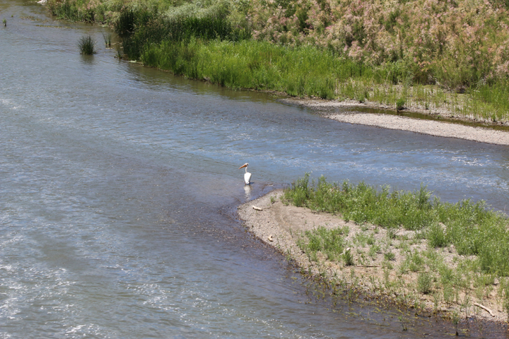 pelican-waiting-for-lunch-in-the-truckee-river-on-the-pyramid-lake-reservation