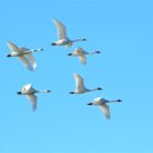 Tundra Swans fly over the Truckee River at Pyramid Lake January 1, 2017.